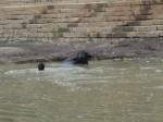 Washing the water buffalo