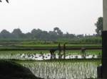 Rice farming outside of the city